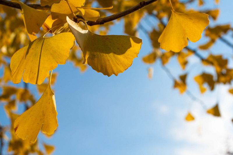 Admirer les feuilles de ginko au soleil, un de mes petits plaisirs d'automne ! Avril sur un fil