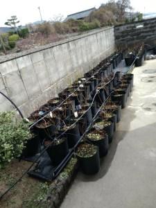 3月3日に定植したブルーベリーの苗その1