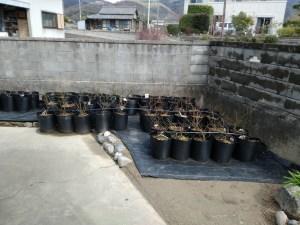 3月3日に定植したブルーベリーの苗その2