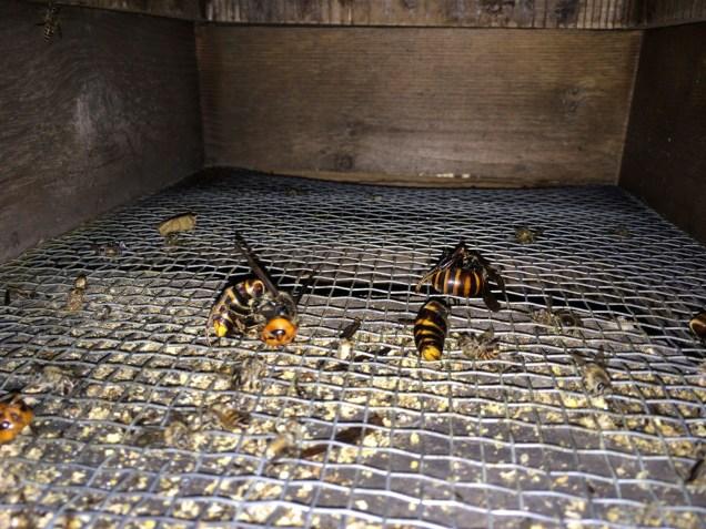 balled hornets