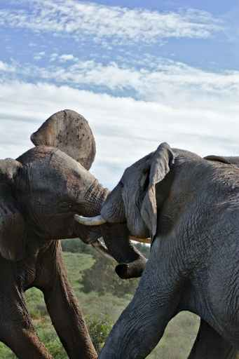 elephants fighting in savanna against cloudy sky demonstrate power vs force