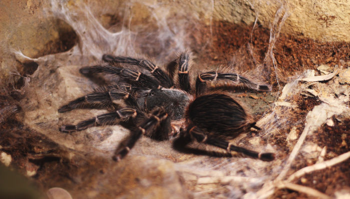 Would You Eat a Tarantula? Spiders & Insects Touted as Latest Superfoods