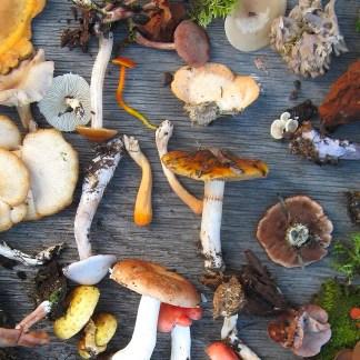 Wild Harvested Fungi