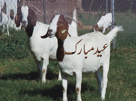 Bakra Eid - Funny Eid ul Azha HD Wallpapers 2013 Collection _ (2)