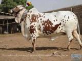 Animals Photos on Bakra Eid