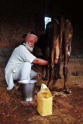 A Sikh man who saved me from malicious Indian men, milking his cow at home, India, 2014.