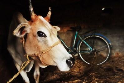 A curious Nepali cow, 2013.