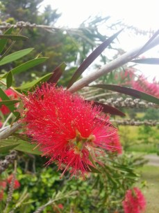 Red flower tasmania