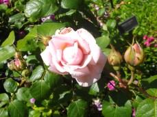 botanic gardens rose pink