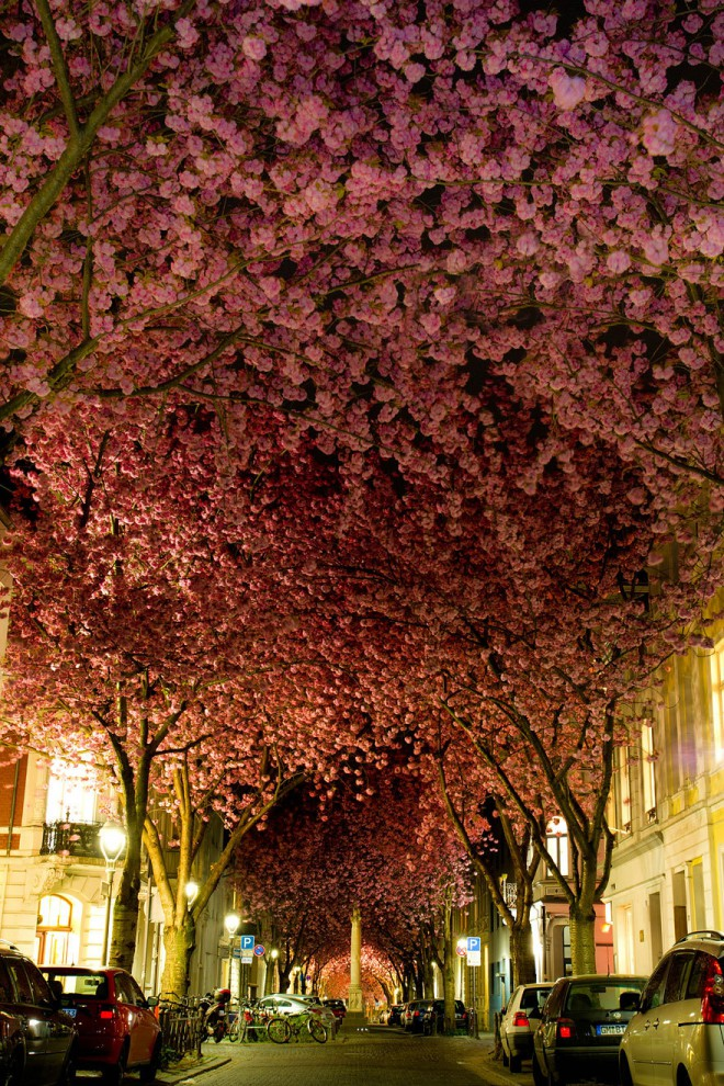 Flowering cherries in Bonn, Germany