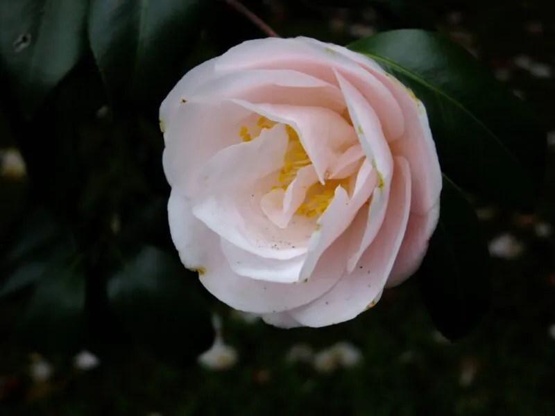 バラみたいな椿