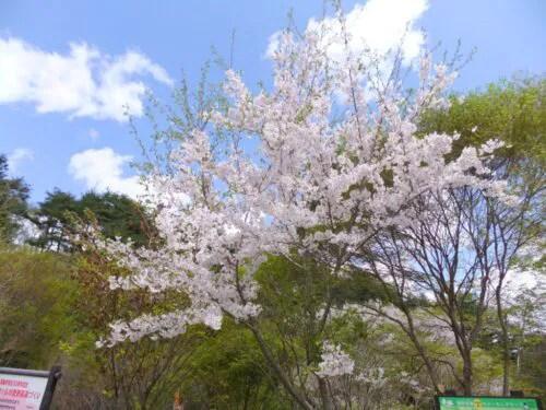 桜が今まさに満開