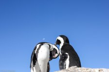 Kissing on Boulders Beach