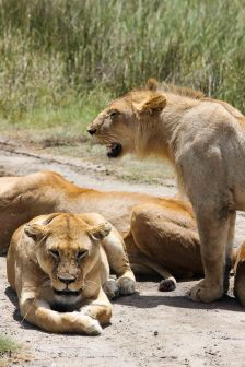 Pack of Lionesses and Lion
