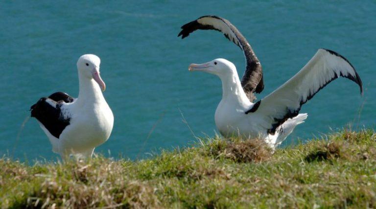 Neuseeland Rundreise albatrosse