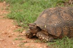 Kapstadt Garden Route Addo Schildkröte @awayonwheels