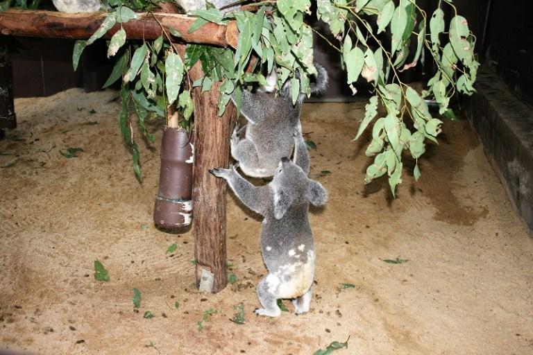 Brisbane Tipps Lone Pine Koala Sanctuary Kindergarten
