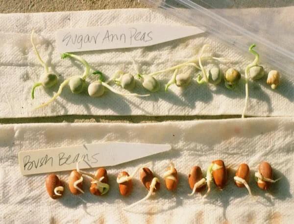germination test