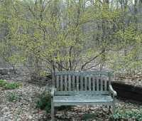 spicebush, cornelian cherry, and more: forsythia alternatives, please