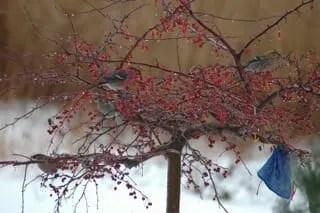 visiting pine grosbeaks