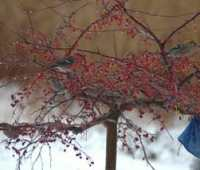 pine grosbeaks, my winter companions