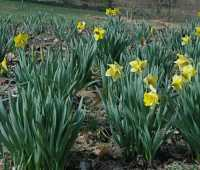 when daffodils don't flower well