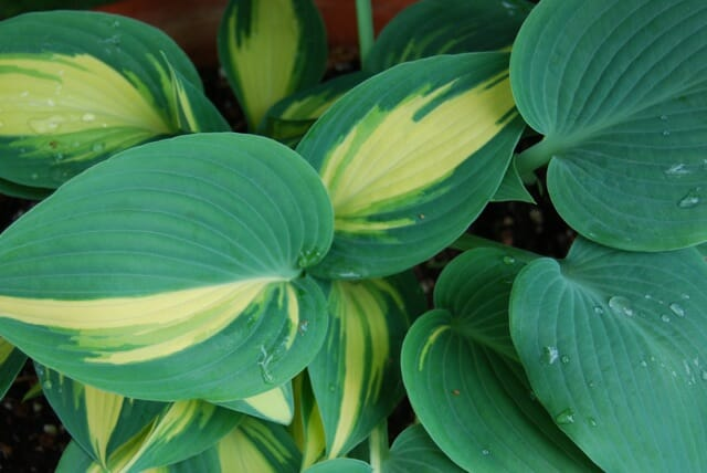 hosta-reversion