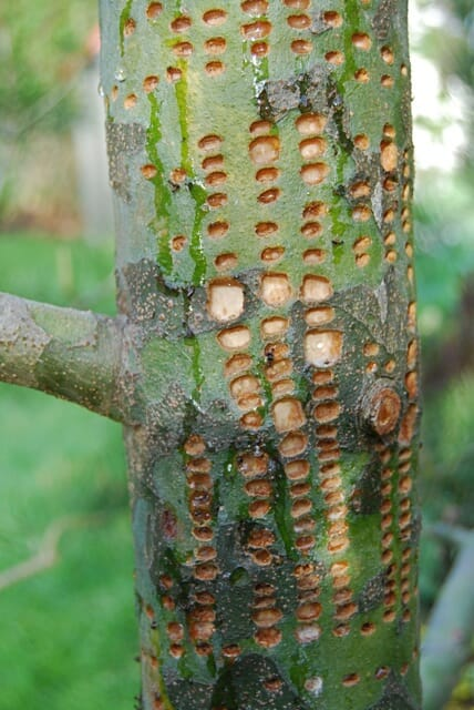 Pinus bungeana with sapsucker damage