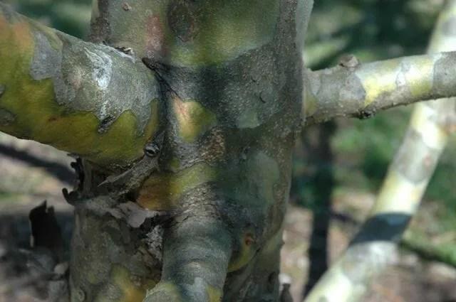 pinus-bungeana-bark