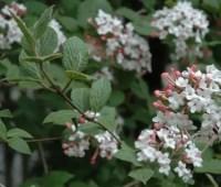 great shrub: koreanspice viburnum, v. carlesii