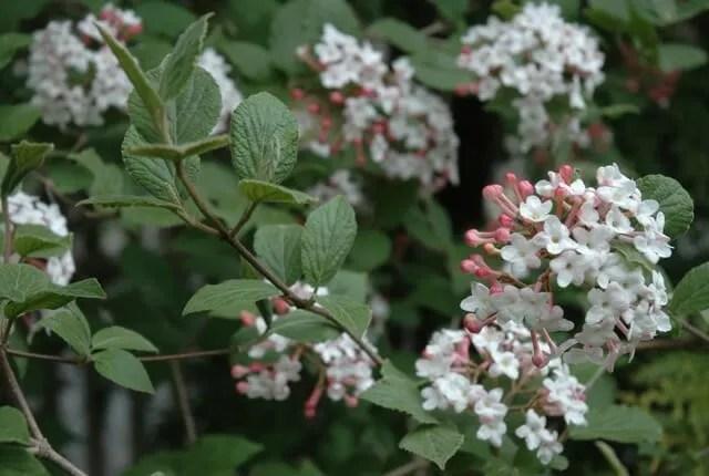 Viburnum carlesii