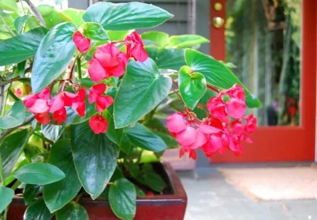 Begonia Live plants,~~Award Winner,Heat Tolerant~~ Pink  Dragon Wing