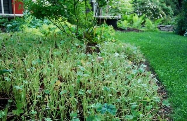 cutback-geranium