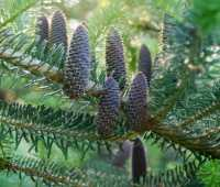 best 'pine' cones, ever