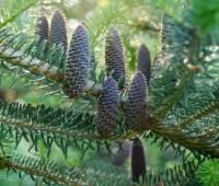 best 'pine' cones, ever