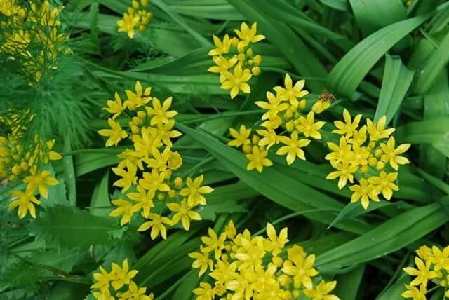 Allium Moly In Garden