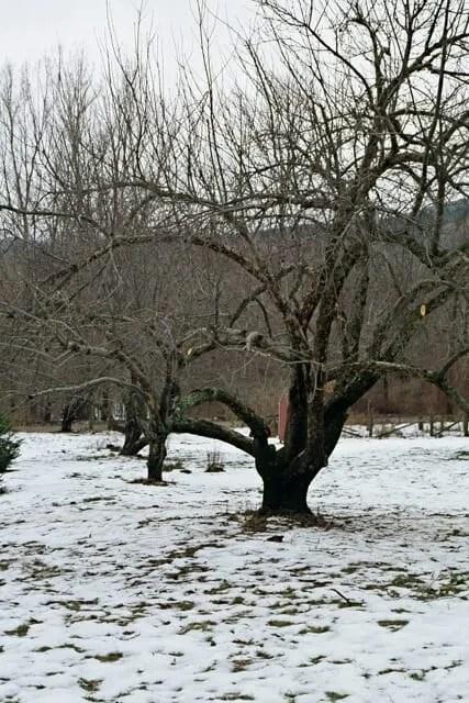 apple-pruning
