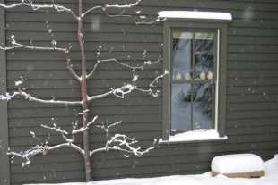 espalier with snow
