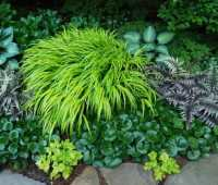 a plant i'd order: hakonechloa 'all gold'