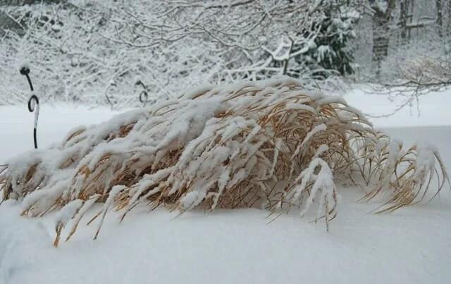 hakonechloa in snow
