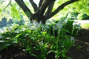 hyacinthoides-hispanica-excelsior