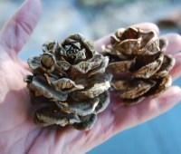 beloved conifer: japanese umbrella pine