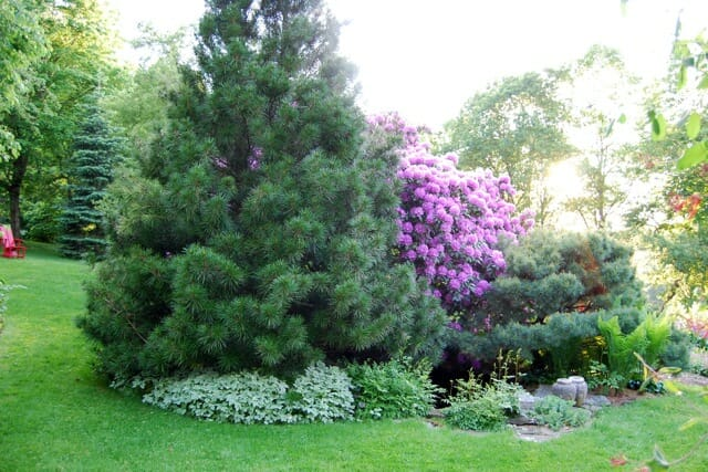 umbrella-pine-spring