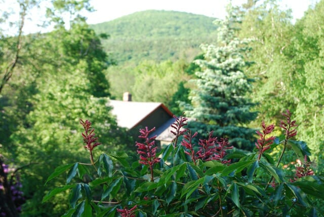 aesculus-pavia-up-on-the-hill.jpg