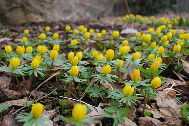 eranthis-wait-for-sun