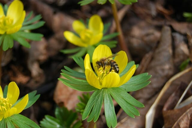 eranthis-with-honeybee