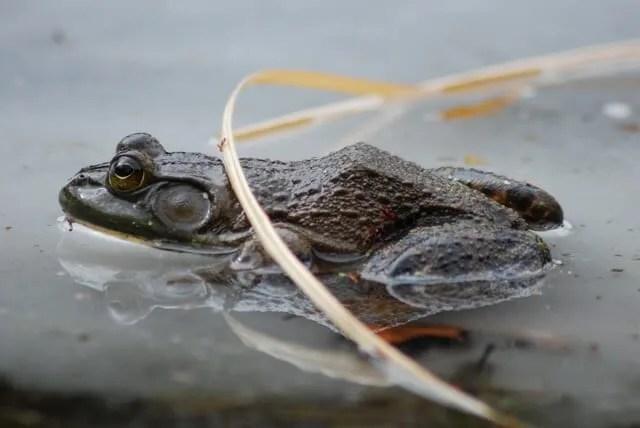 frog-on-ice-1