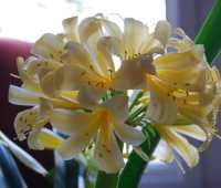 baby, take a look at me now: yellow clivia