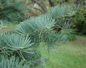 concolor-fir-detail.jpg