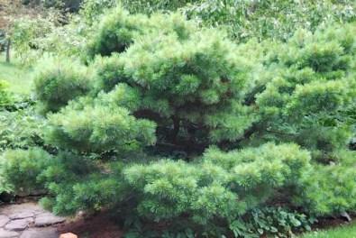 dwarf-white-pine.jpg